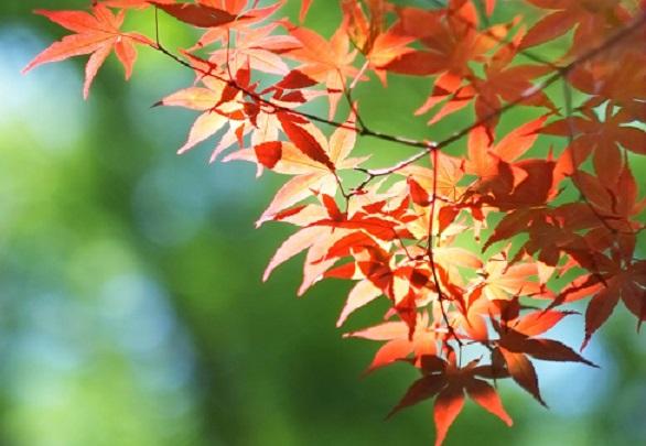 紅葉したモミジの葉の写真