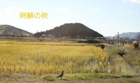 黄金いろの畑とカラスの写真