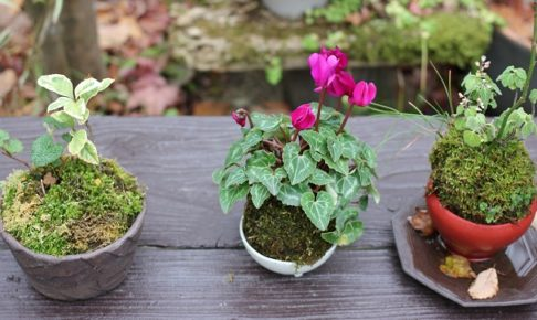冬の花 苔玉の写真