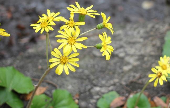 金立公園のつわの花の写真