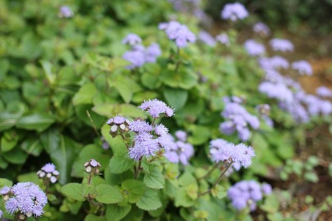 庭にさいてる紫の花の写真