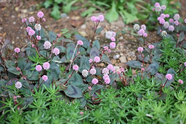 庭に咲いてる小さな花の写真
