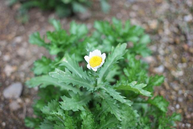 ノースポールの苗を植えた写真