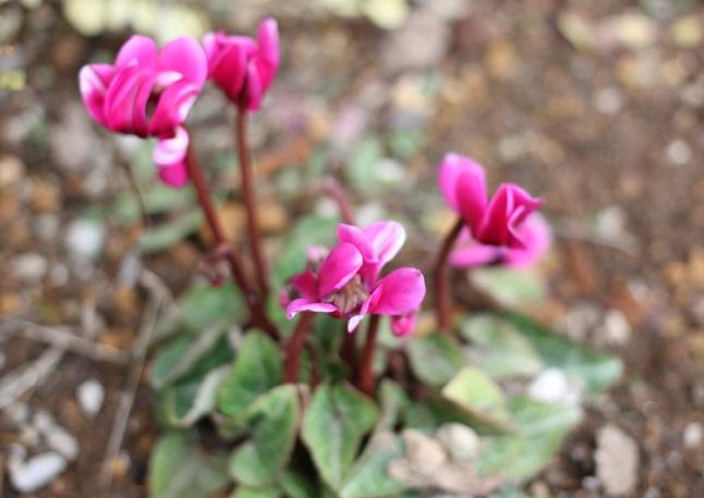 ガーデンシクラメンの苗の写真