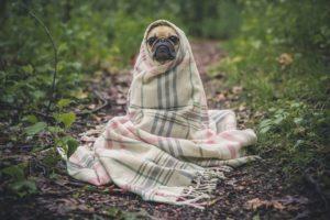 毛布を巻いてる犬の写真