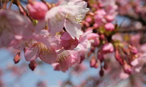 綺麗なピンクの桜の写真