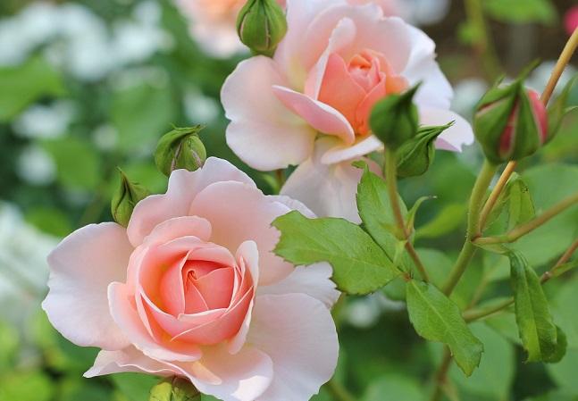 ピンクのバラの花の写真