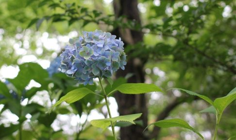 青いアジサイの写真