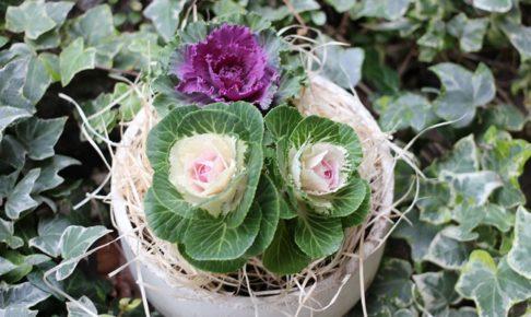 お正月の葉ボタンの写真
