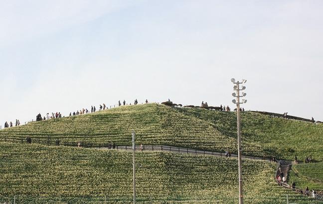 水仙の丘の写真