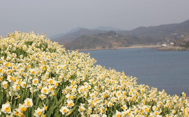 丘を登った所の水仙と海の写真