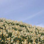 野母崎の水仙と空の写真