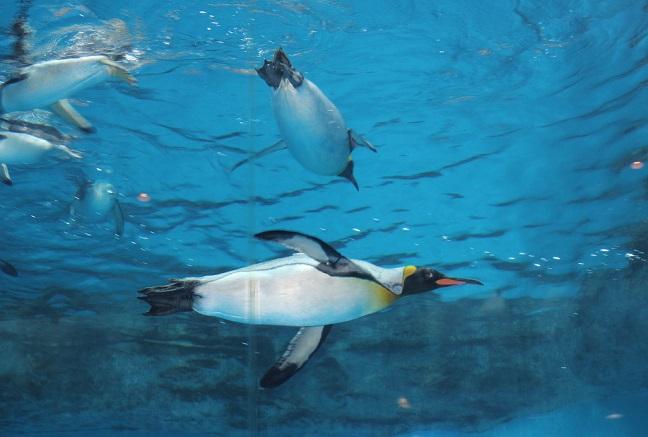 水槽で泳いでるペンギンの写真