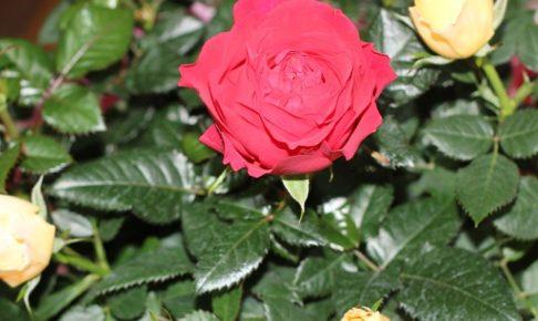 バラの鉢植えの写真