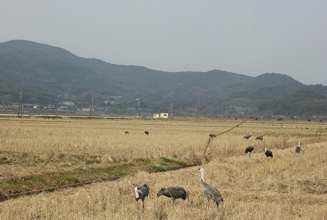 田んぼにいる鶴の写真