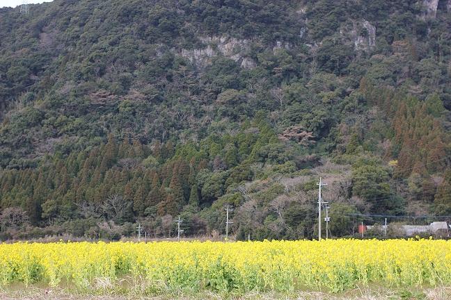 かいもんの前の菜の花畑の写真