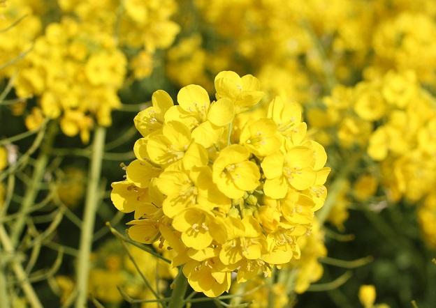 池田湖の菜の花のアップ写真