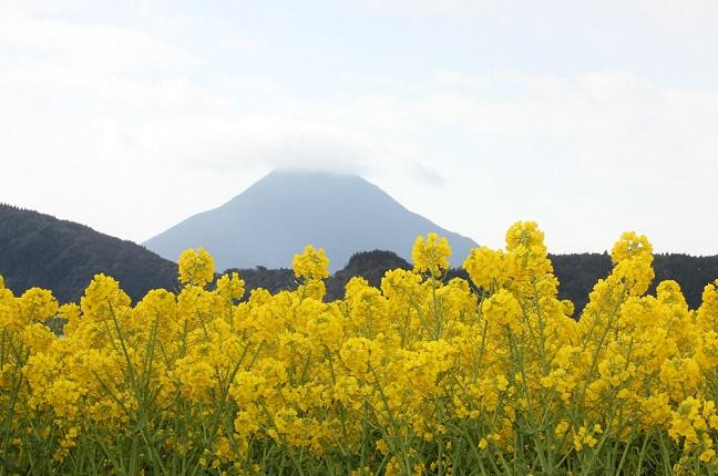 池田湖、開聞岳と菜の花の写真