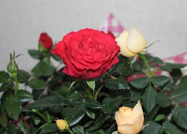 バラのアップの写真