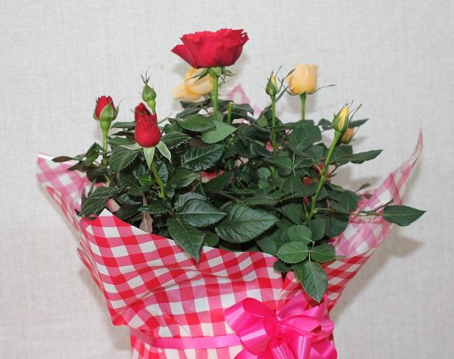 バラの鉢植えのプレゼントの写真