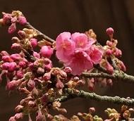 少し咲いてる緋寒桜の写真