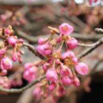 少し咲き始めた緋寒桜の写真