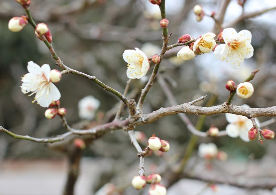 梅が咲いてる写真