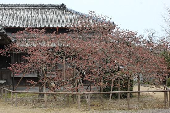 樹齢90年の緋寒桜の写真