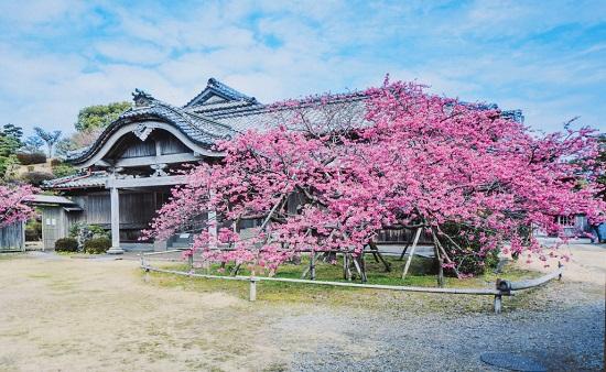 緋寒桜が満開の看板の写真