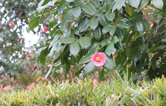 椿が咲いてる写真