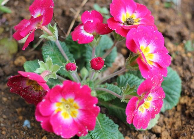庭に咲いてるプリムラの写真