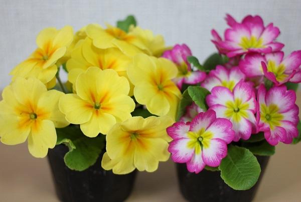 黄色とピンクのプリムラジュリアンの写真