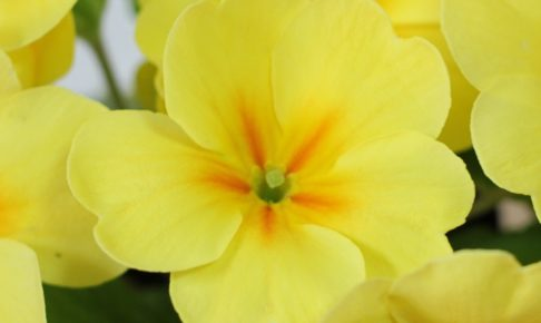 黄色のプリムラジュリアンのアップの写真