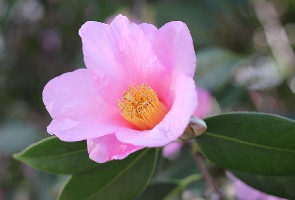 ピンクの椿の写真