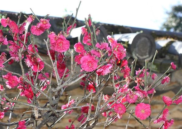 濃いピンクの梅の写真