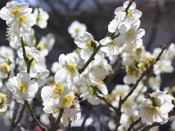 白の梅の写真