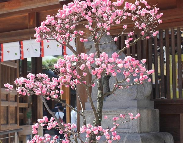 ピンクの梅の全体像の写真