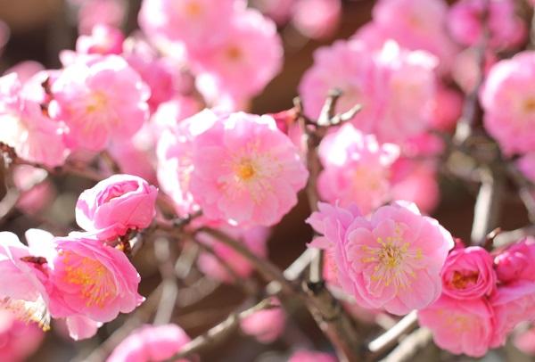 ピンクの梅のアップの写真