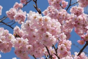 ピンクの八重の梅の写真