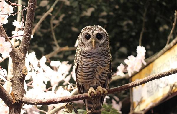 チャコモリフクロウの写真
