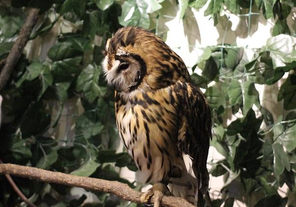 ウサギフクロウの写真