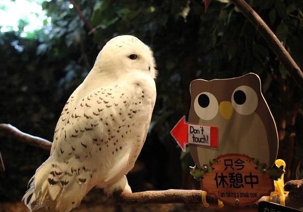 シロフクロウの写真