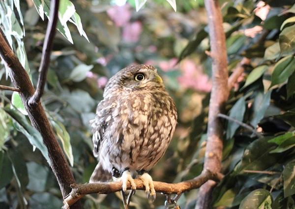 コキンメフクロウの写真