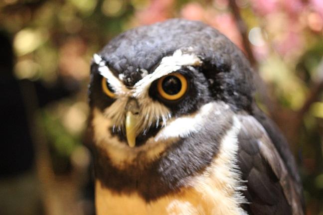メガネフクロウの写真