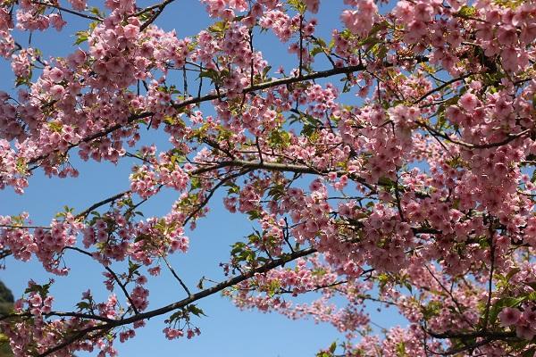 青空と満開の河津桜の写真