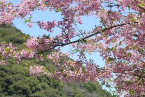 佐々川と河津桜の写真