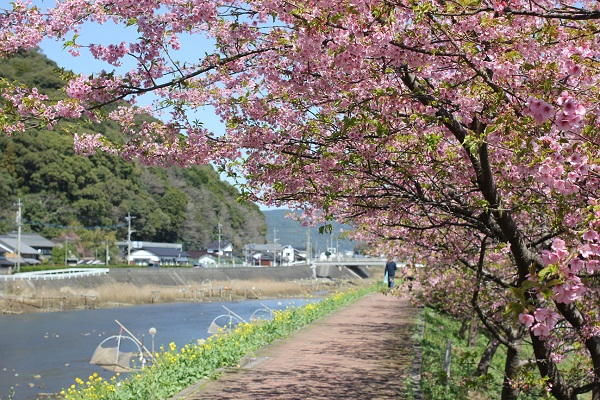 佐々川と遊歩道に咲く菜の花と河津桜の写真
