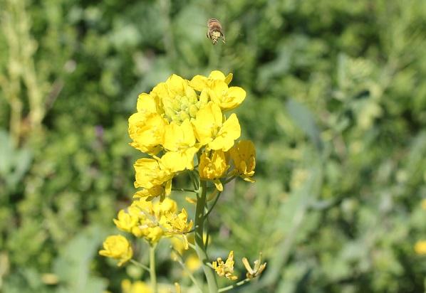 菜の花とミツバチの写真