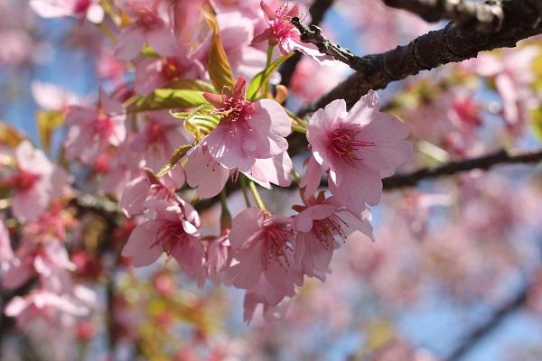 河津桜アップの写真
