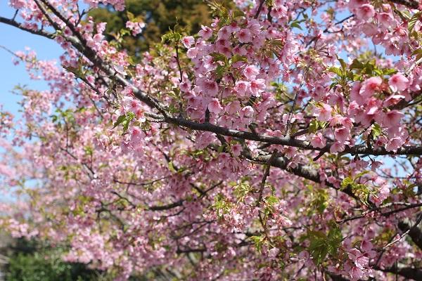 満開の河津桜(もうすぐ散りそう)の写真
